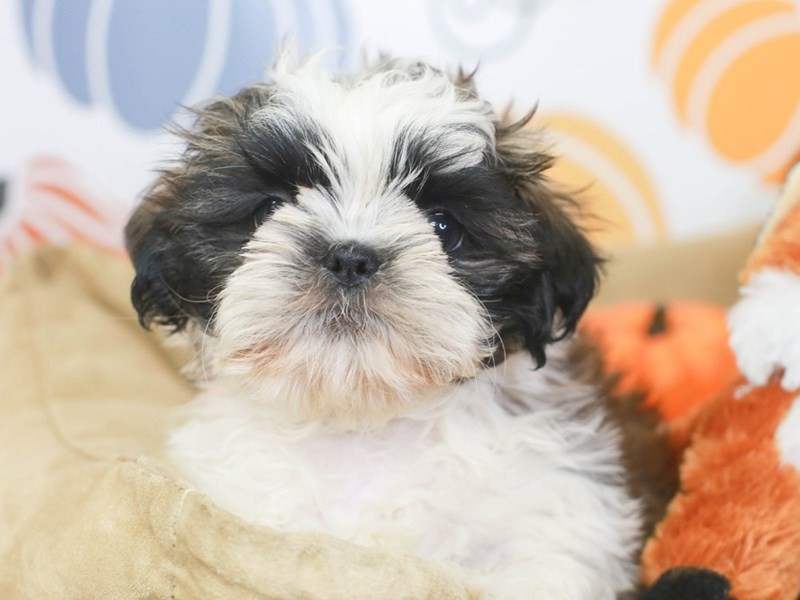Shih Tzu-Male-brindle/wh-3332698-Animal Kingdom | Puppies N Love