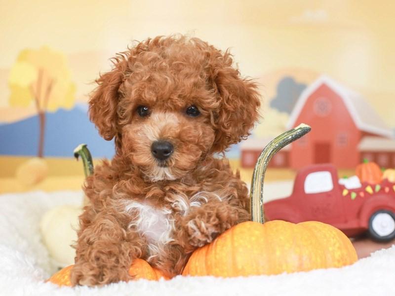 Poodle-Female-RED-3342677-Animal Kingdom   Puppies N Love