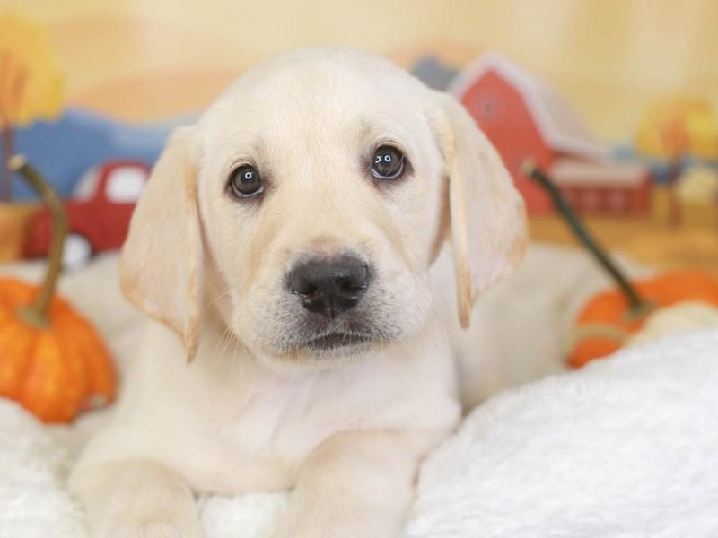 Labrador Retriever-Male-yellow-3342224-Animal Kingdom | Puppies N Love