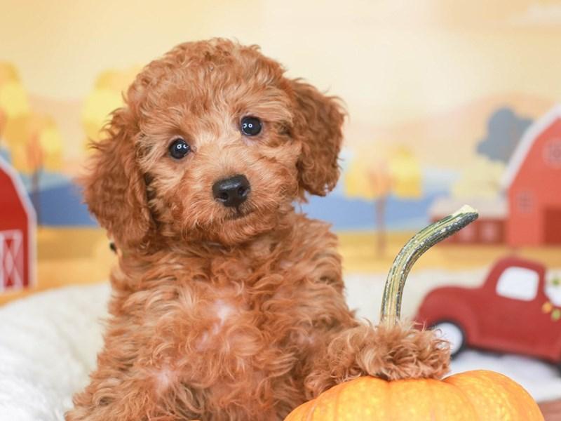 Poodle-Male-red-3342620-Animal Kingdom   Puppies N Love
