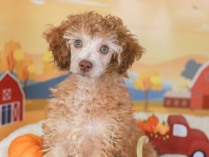 Poodle-Female-red-3342103-Animal Kingdom   Puppies N Love
