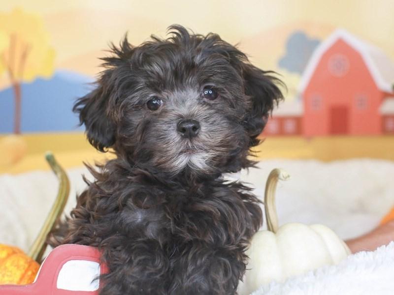 Havapoo-Female-black-3342297-Animal Kingdom | Puppies N Love