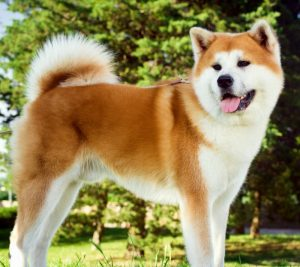 Akita Puppies Breed Info Animal