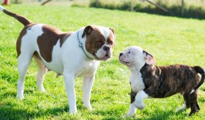 American Bulldog Puppies For Sale Animal Kingdom Arizona