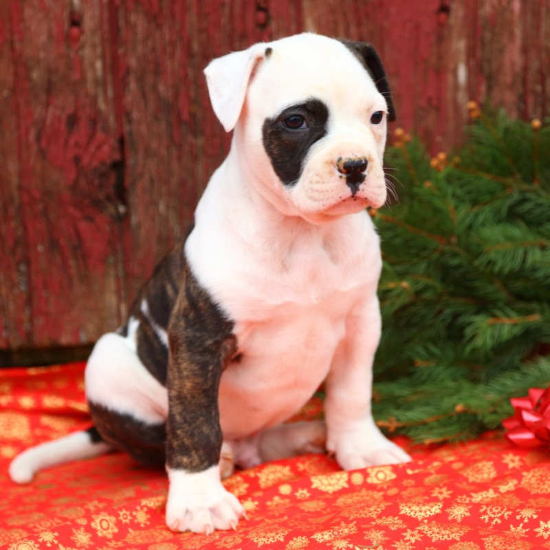 American Bulldog Puppies Animal Kingdom Arizona
