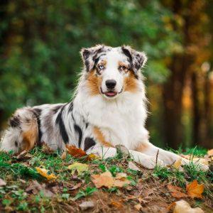 Australian Shepherd Puppies For Sale Animal Kingdom Arizona