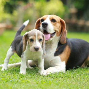 Beagle Puppies For Sale Animal Kingdom Arizona