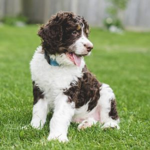 Bernedoodle Puppies For Sale Animal Kingdom Arizona
