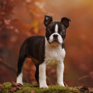 Boston Terrier Puppies For Sale Animal Kingdom Arizona