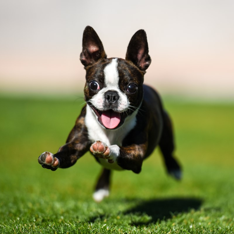 Boston Terrier Puppies Animal Kingdom Arizona