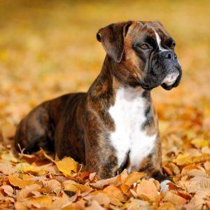 Boxer Puppies For Sale Animal Kingdom Arizona