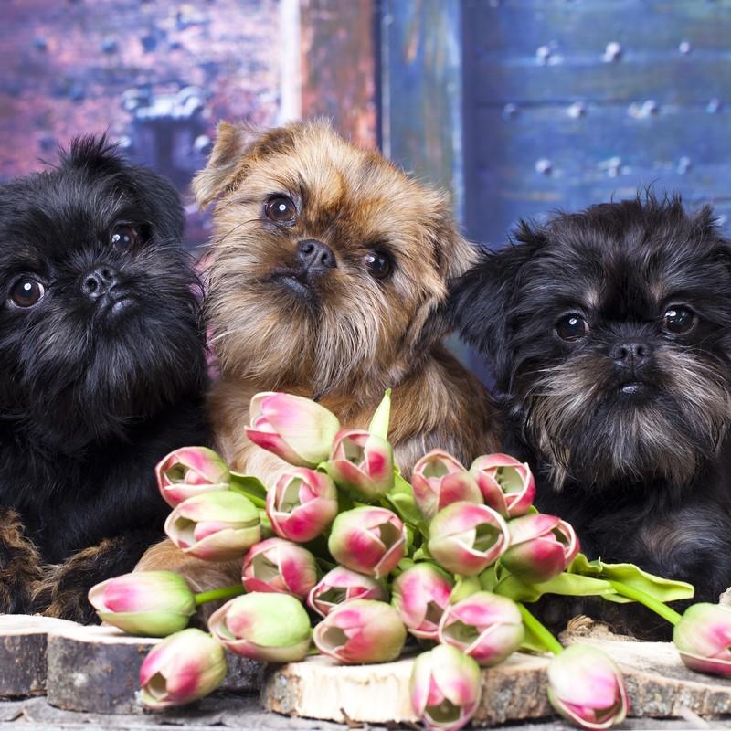 Brussels Griffon Puppies Animal Kingdom Arizona