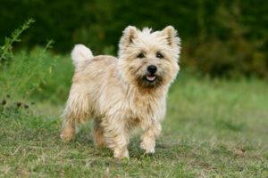 Cairn Terrier Puppies For Sale Animal Kingdom Arizona