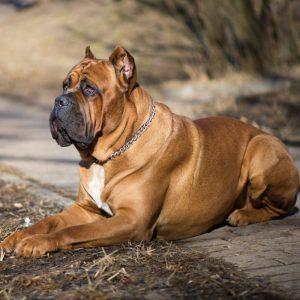 Cane Corso Puppies For Sale Animal Kingdom Arizona