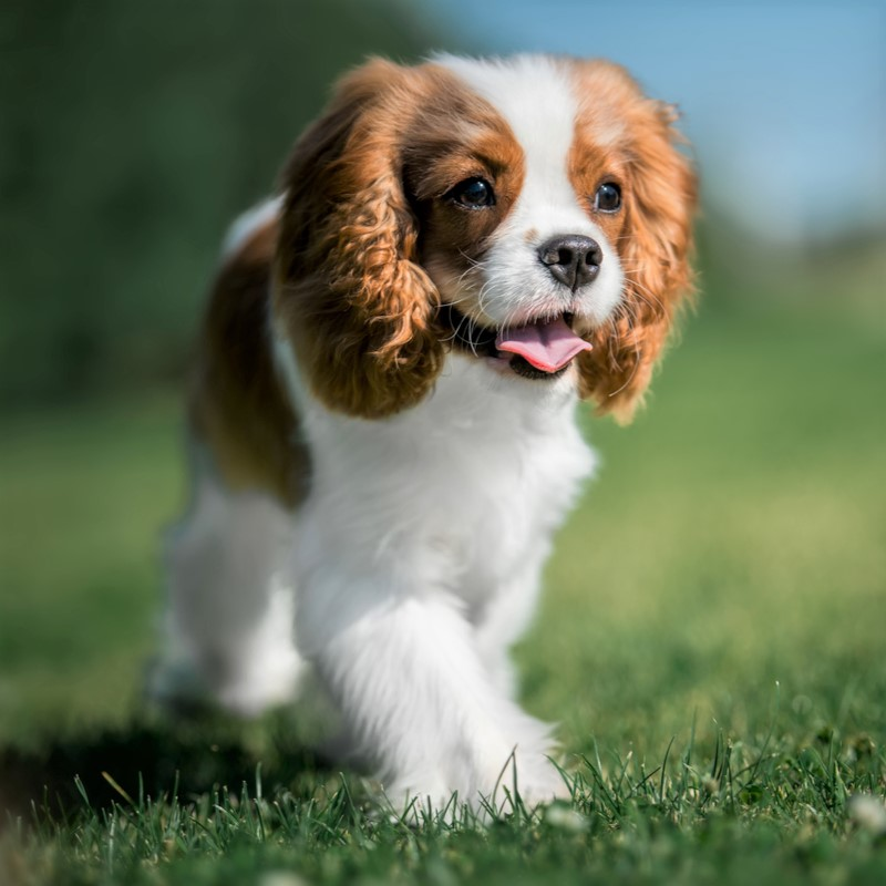 Cavalier King Charles Spaniel Puppies Animal Kingdom Arizona