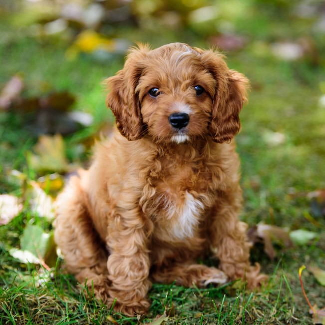 Cavapoo Puppies Animal Kingdom Arizona