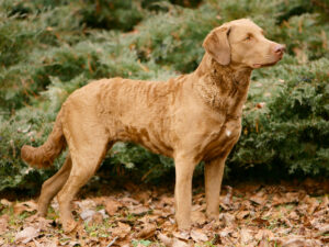 Chesapeake Bay Retriever Puppies For Sale Animal Kingdom Arizona