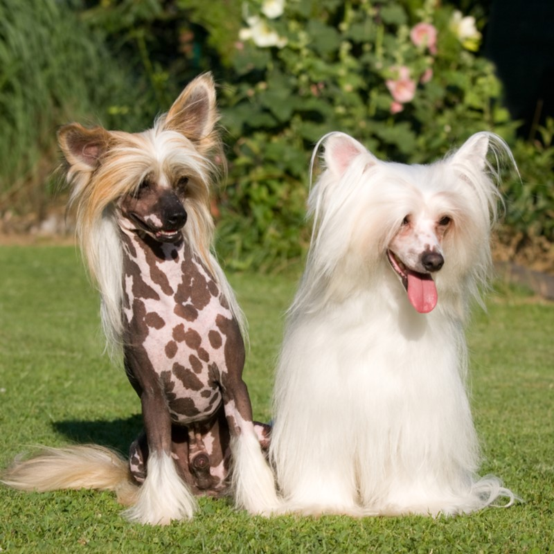 Chinese Crested Puppies Animal Kingdom Arizona