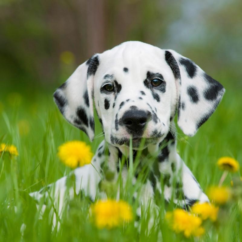 Dalmatian Puppies Animal Kingdom Arizona