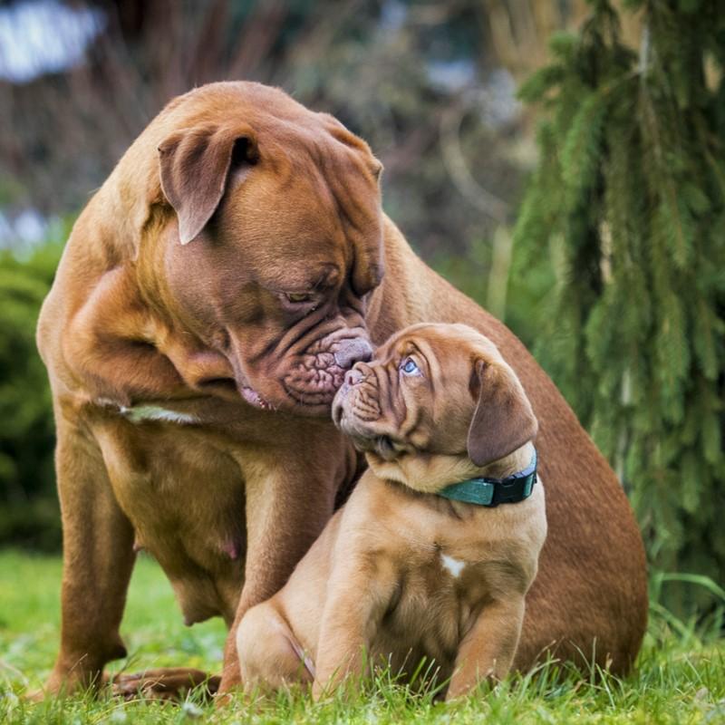 Dogue de Bordeaux Puppies Animal Kingdom Arizona