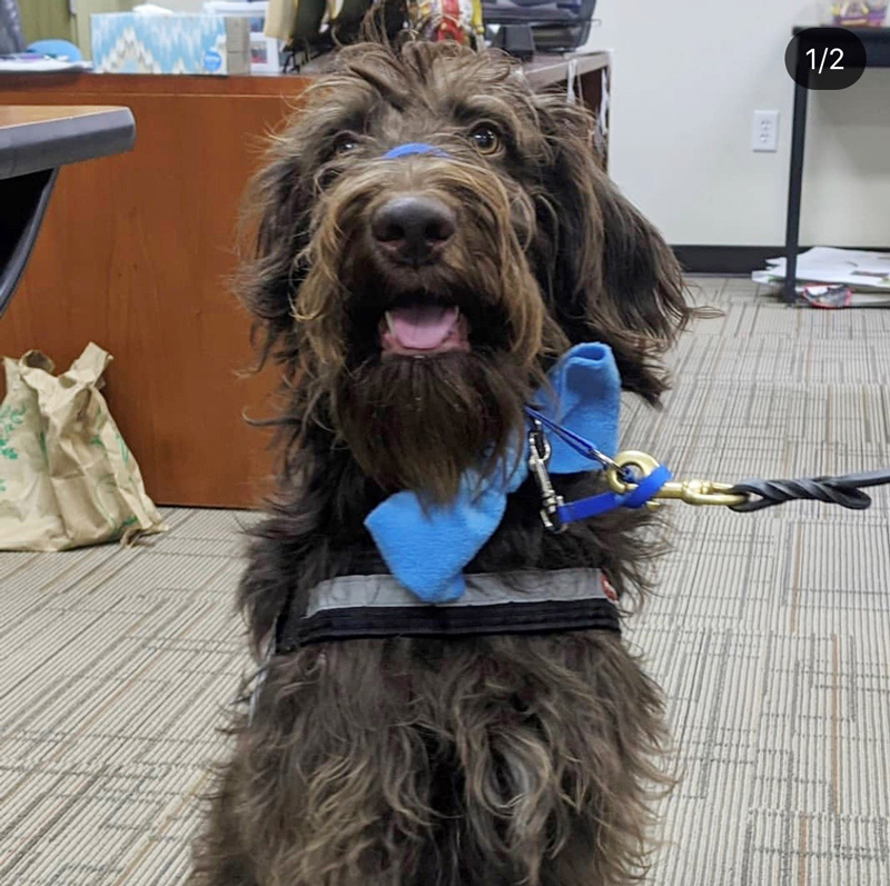Finn the Labradoodle ready for class