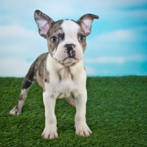 Frenchton Puppies For Sale Animal Kingdom Arizona