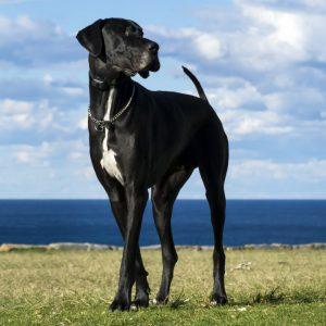 Great Dane Puppies For Sale Animal Kingdom Arizona