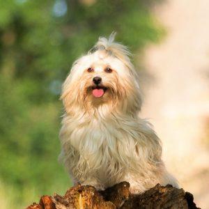 Havanese Puppies For Sale Animal Kingdom Arizona