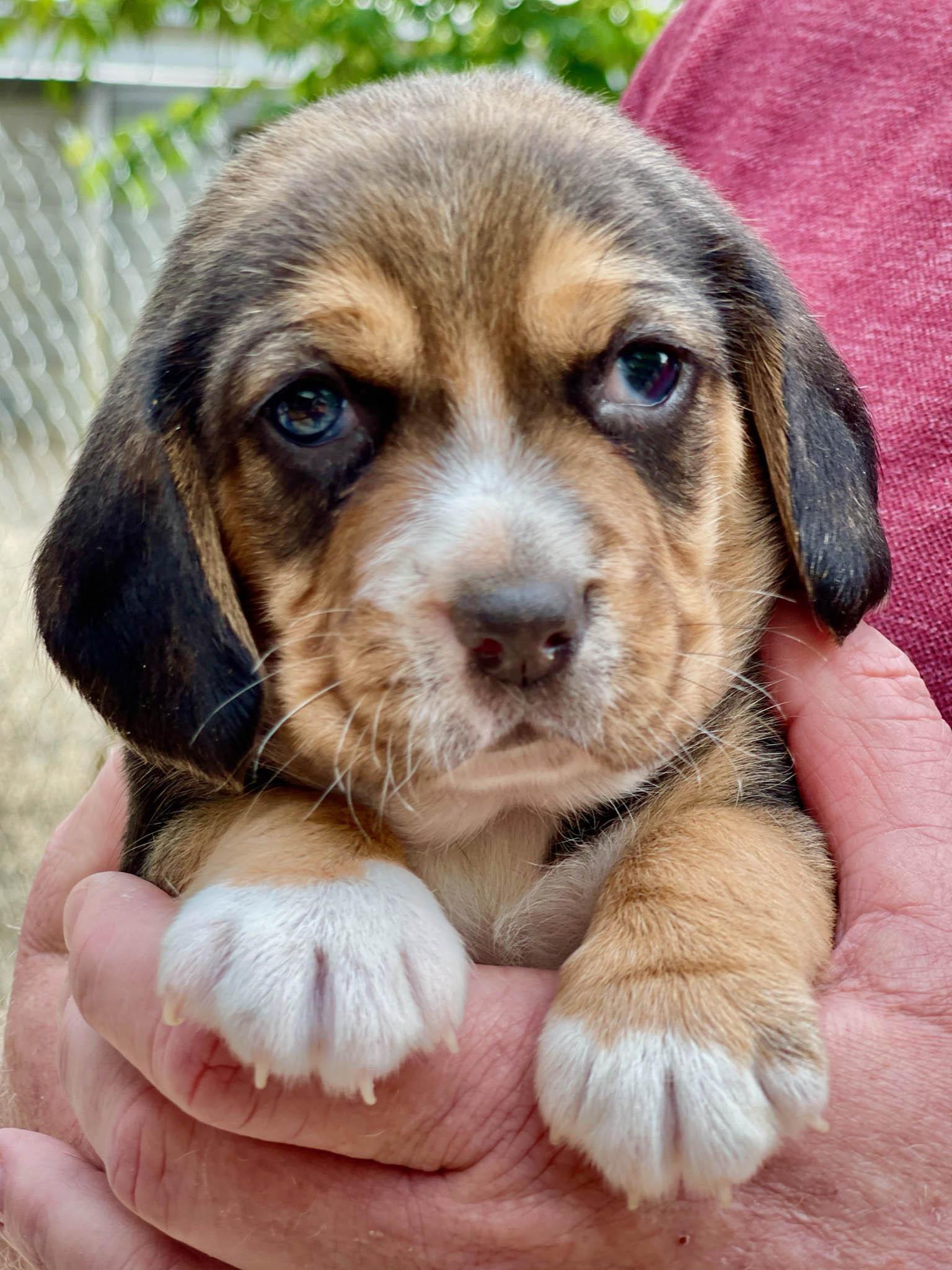 Beagle puppy closeup