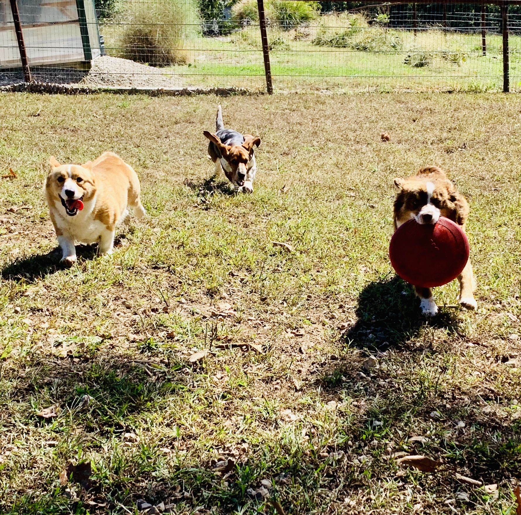 Dogs playing in the yard