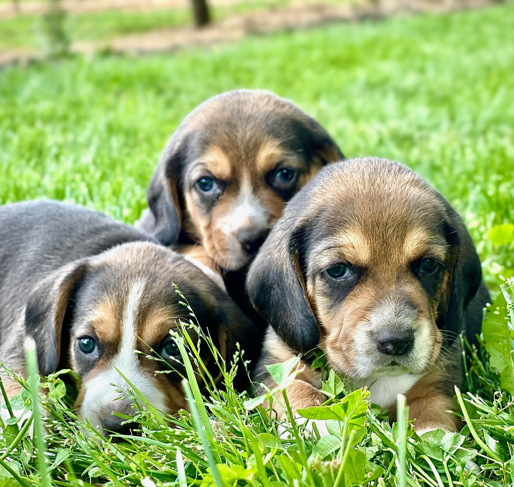 Beagle puppies cuddling