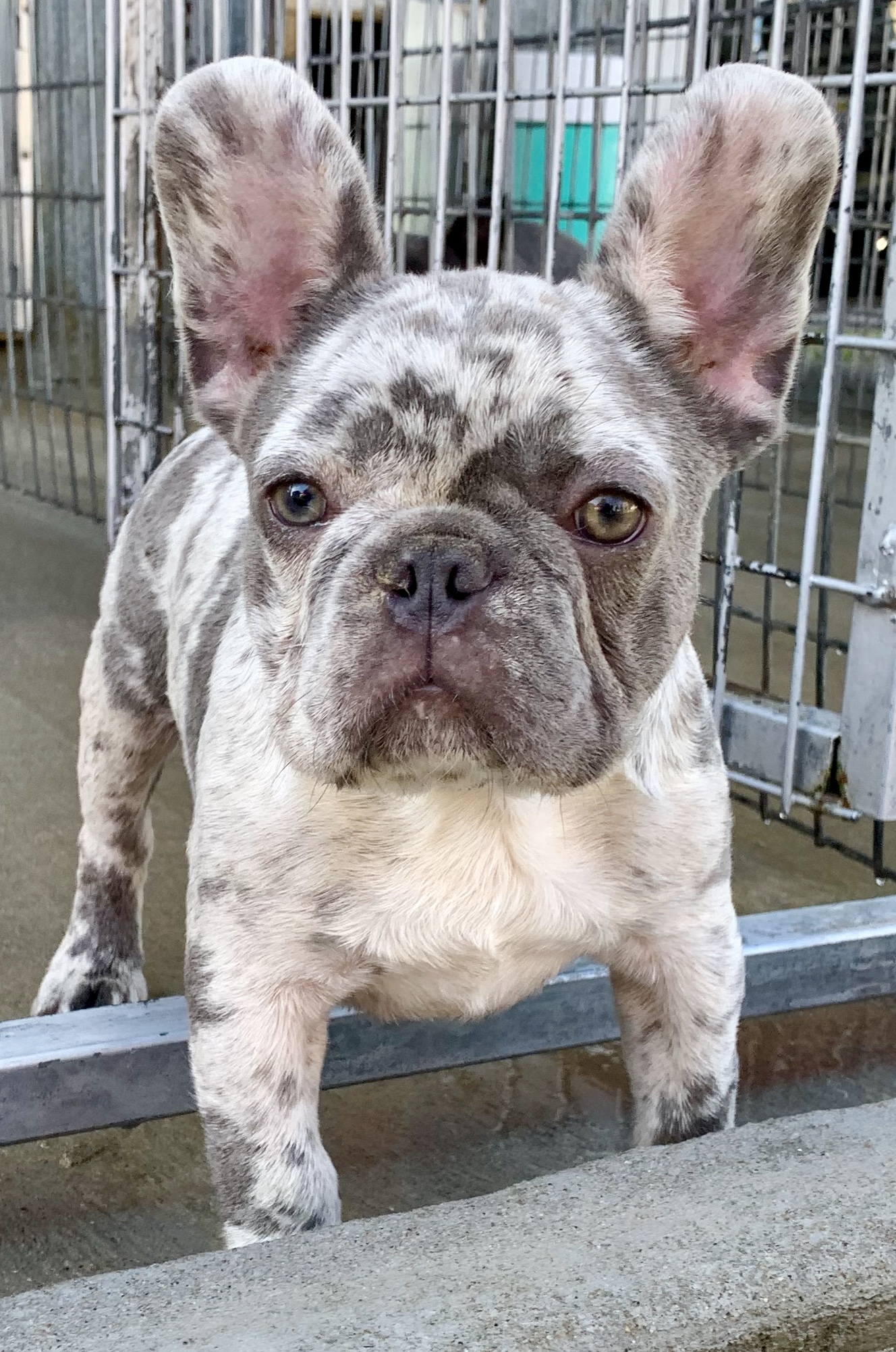 One of Kim's adult French Bulldogs