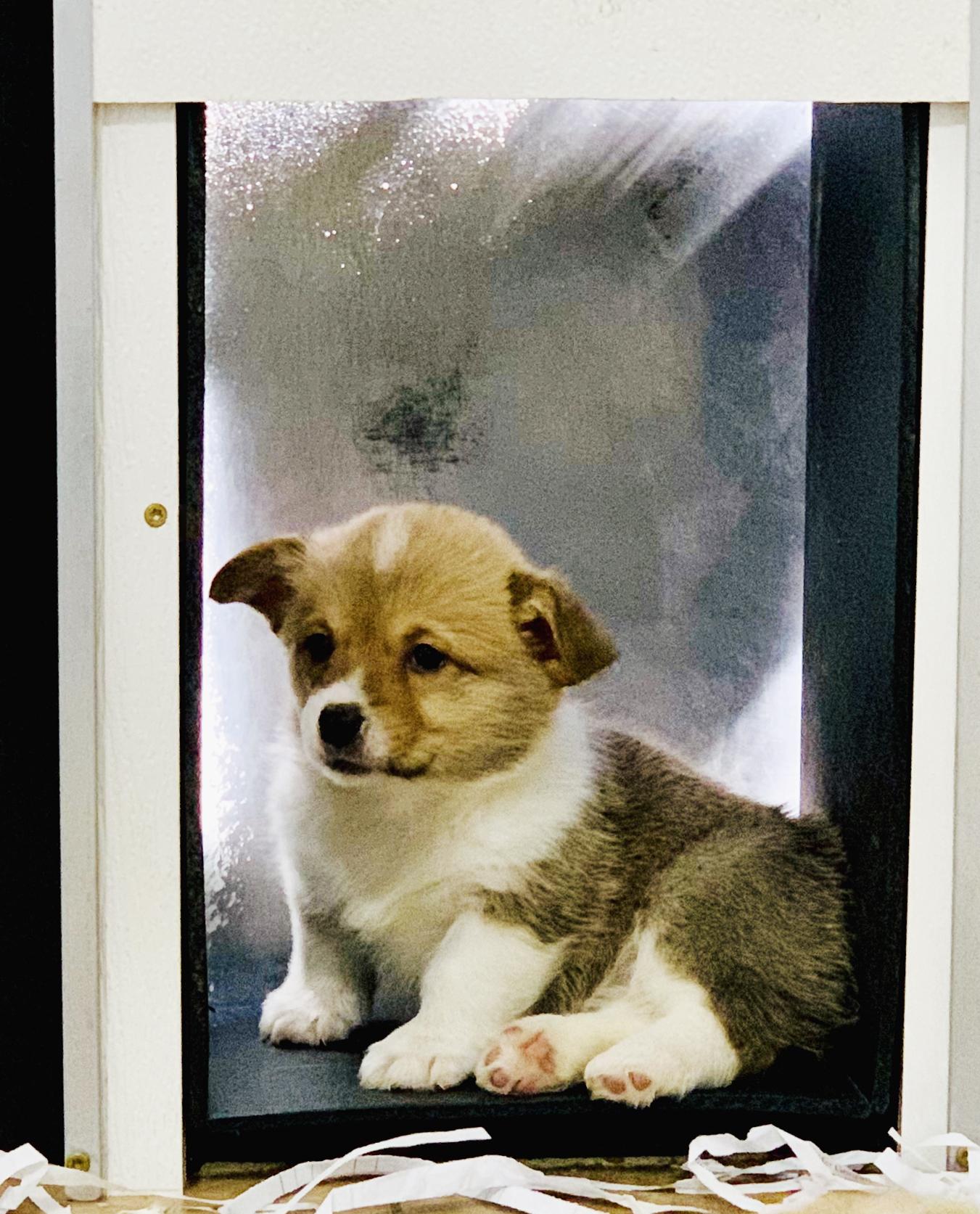 Corgi puppy resting in doorway