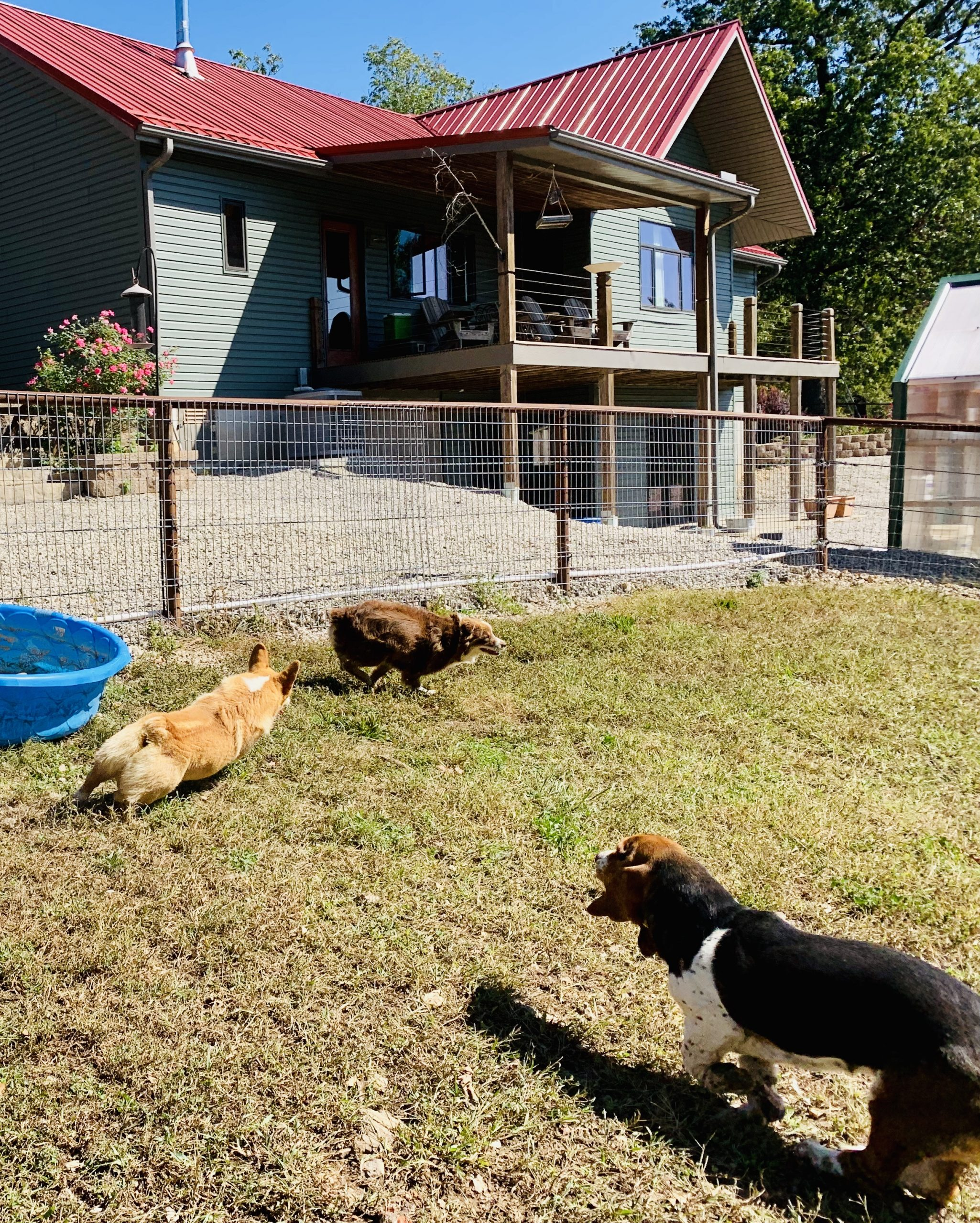 Dogs playing in yard