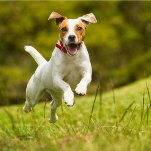 Jack Russell Terrier Puppies For Sale Animal Kingdom Arizona