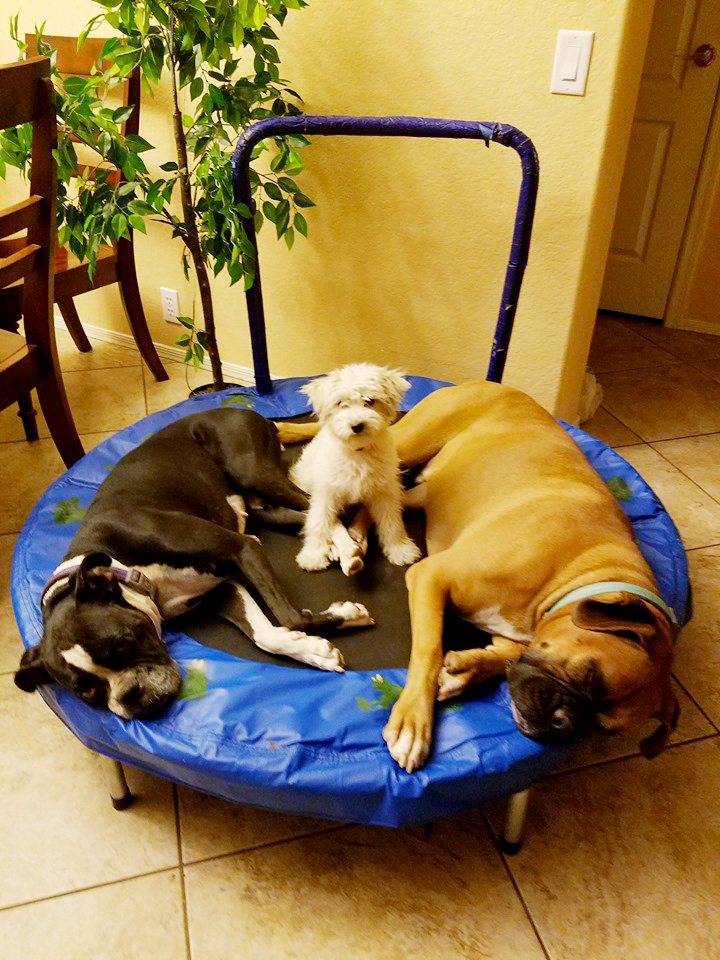 Boxers Lola and Tank with their new friend Rose the Chonzer