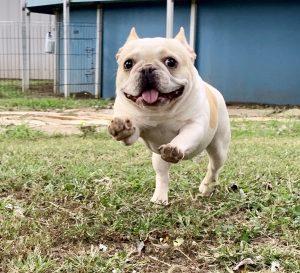 French Bulldog running in yard
