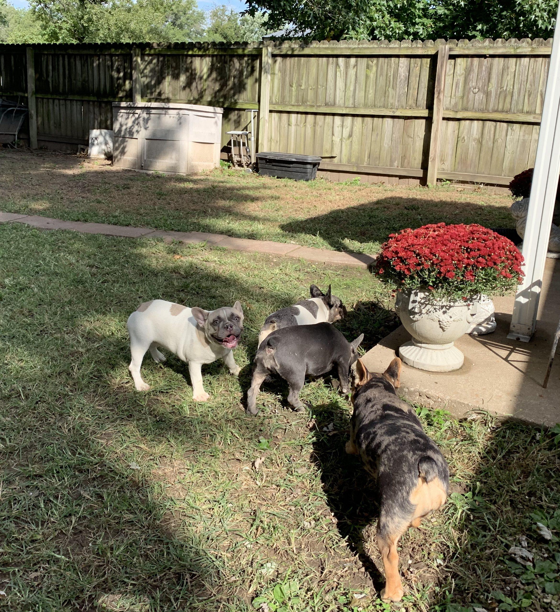Puppies enjoying the yard