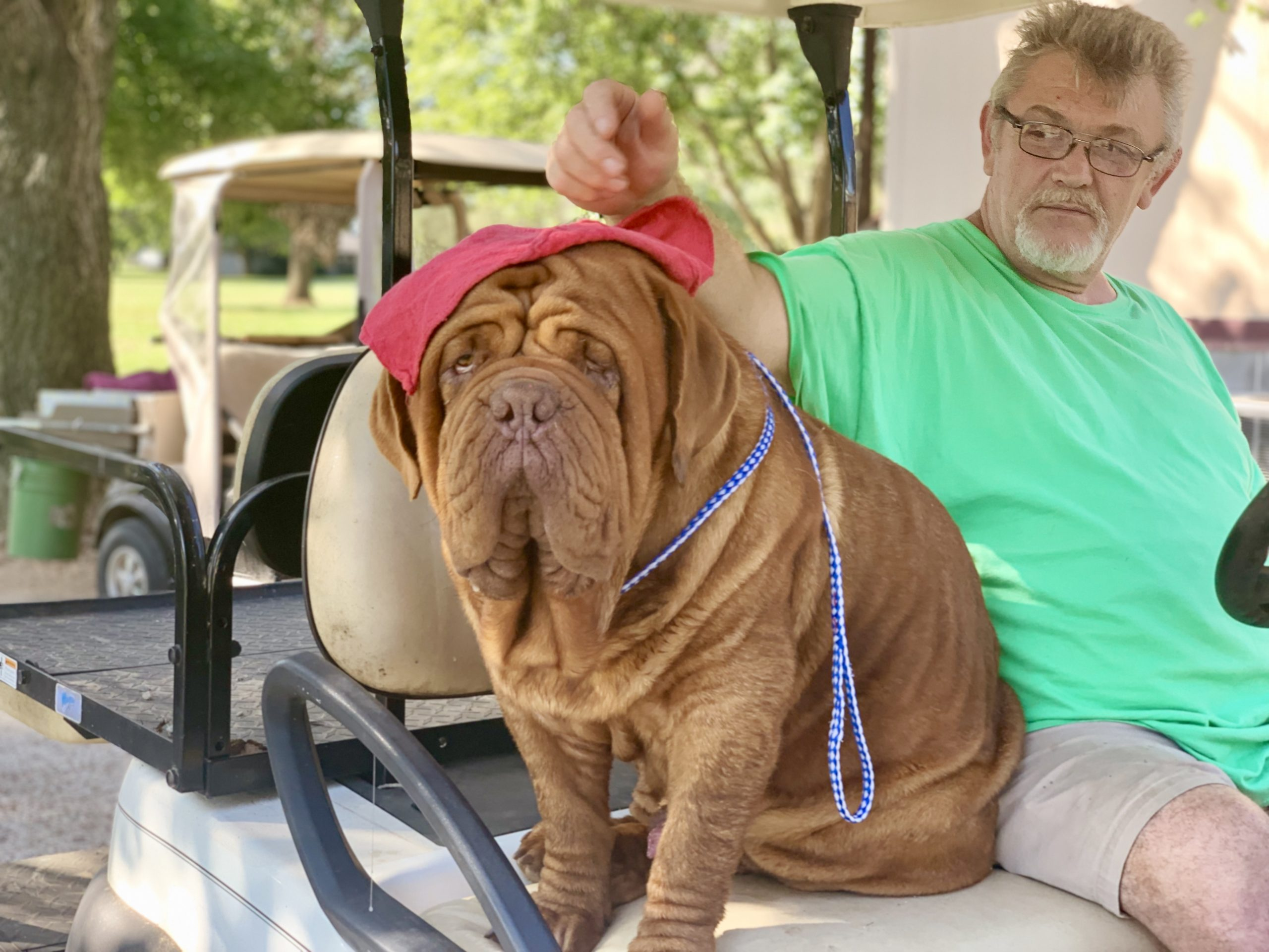 Dogue de Bordeaux riding on golf cart