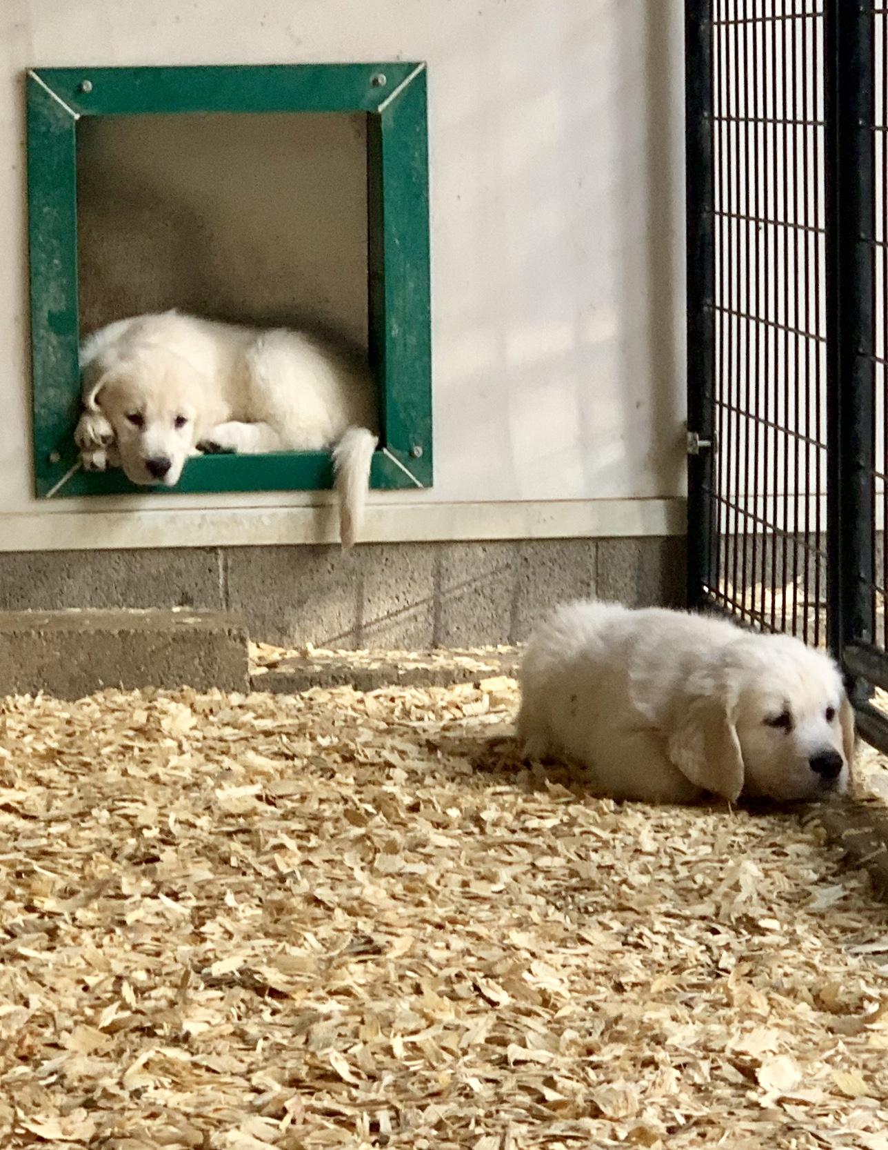 Puppies in indoor/outdoor kennels