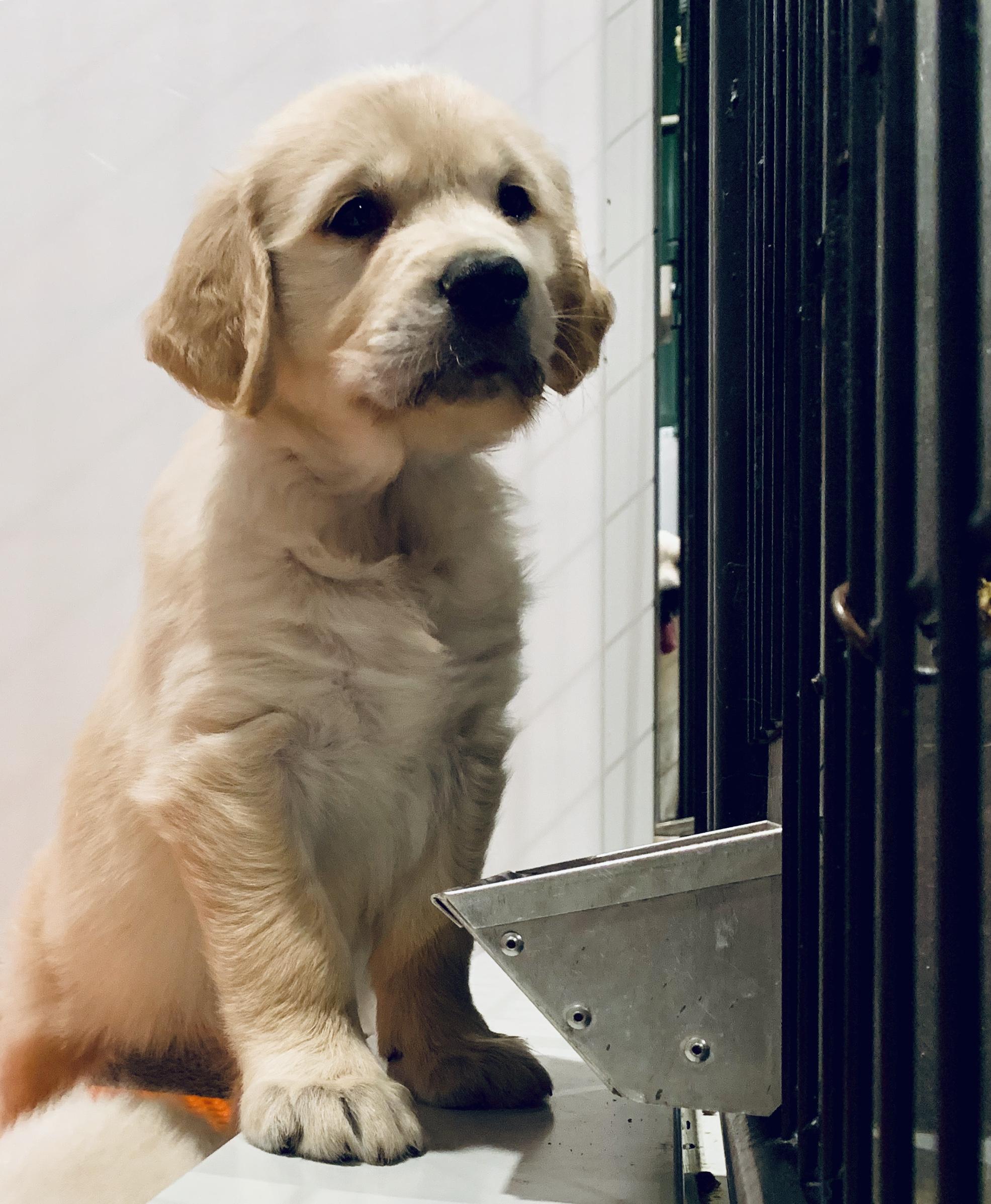 Golden Retriever puppy in kennel