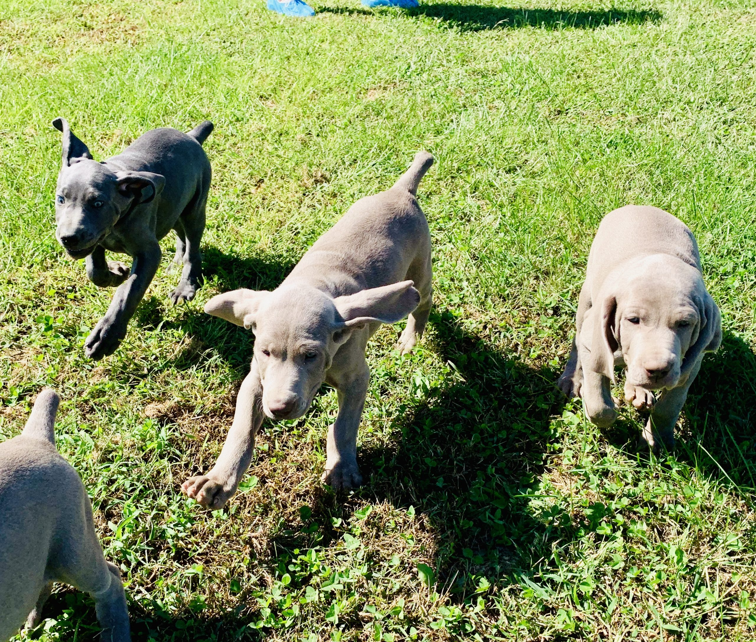 Weimaranger puppies playing