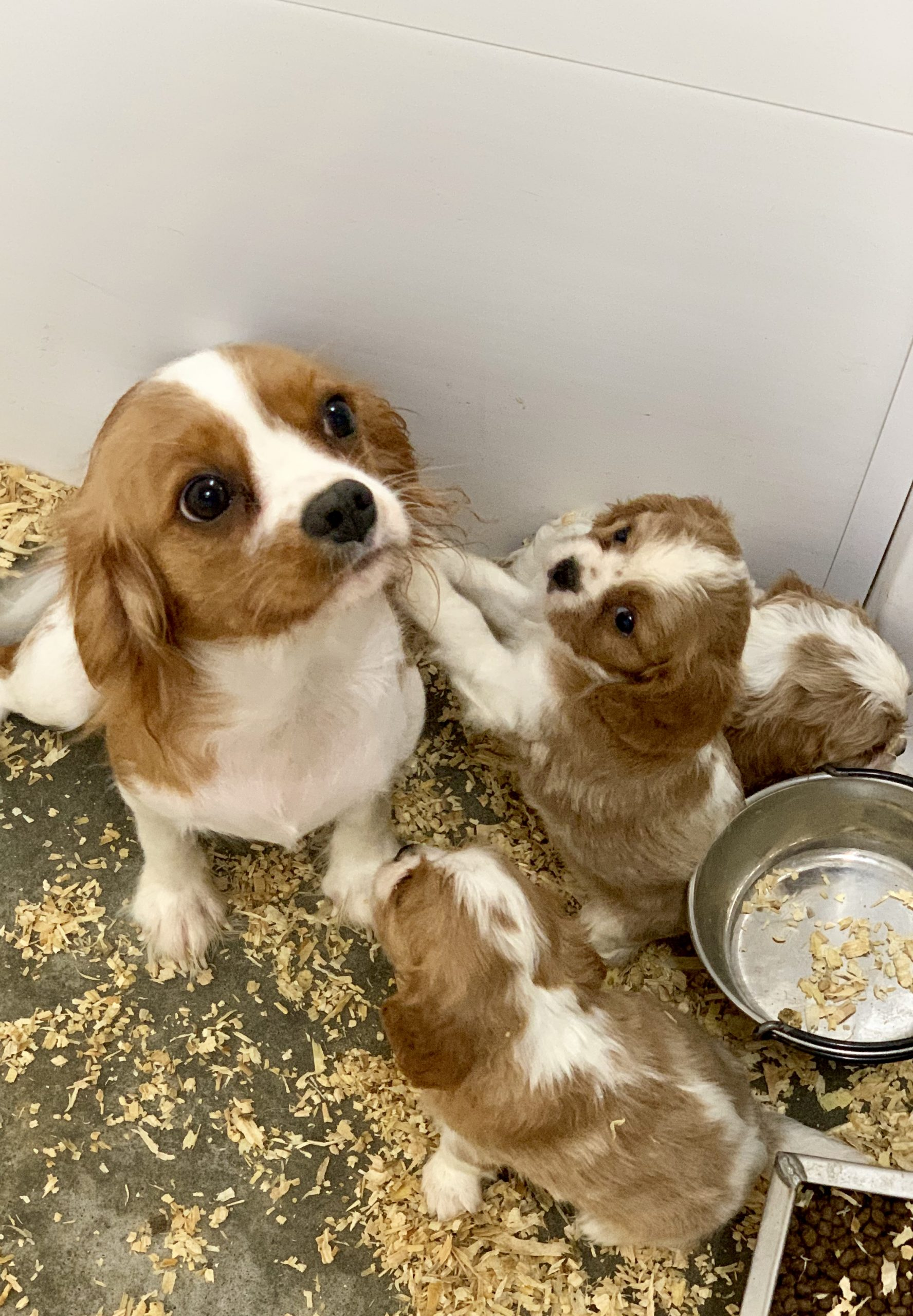 Cocker Spaniel puppies with mom