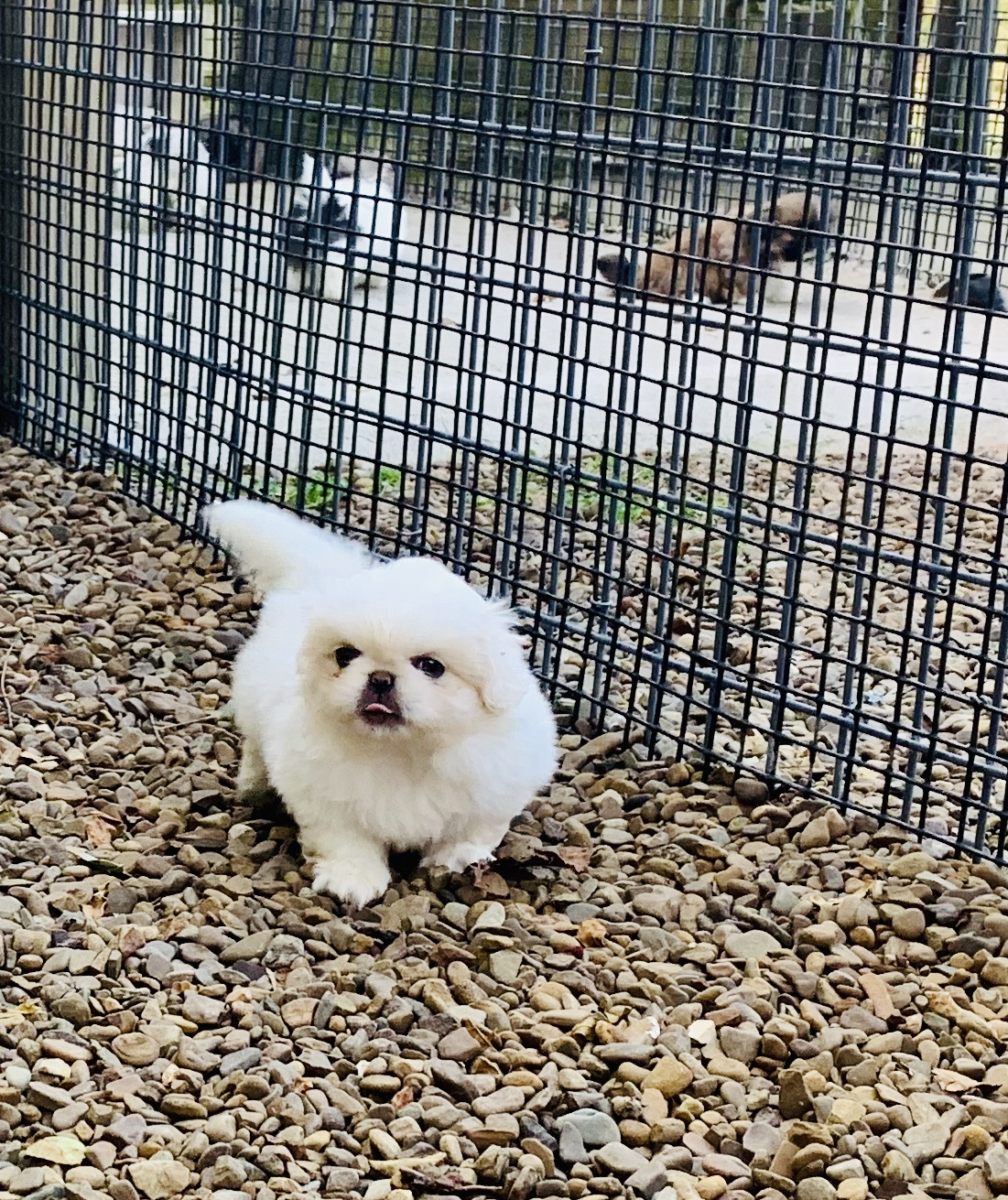 A Pekingese puppy