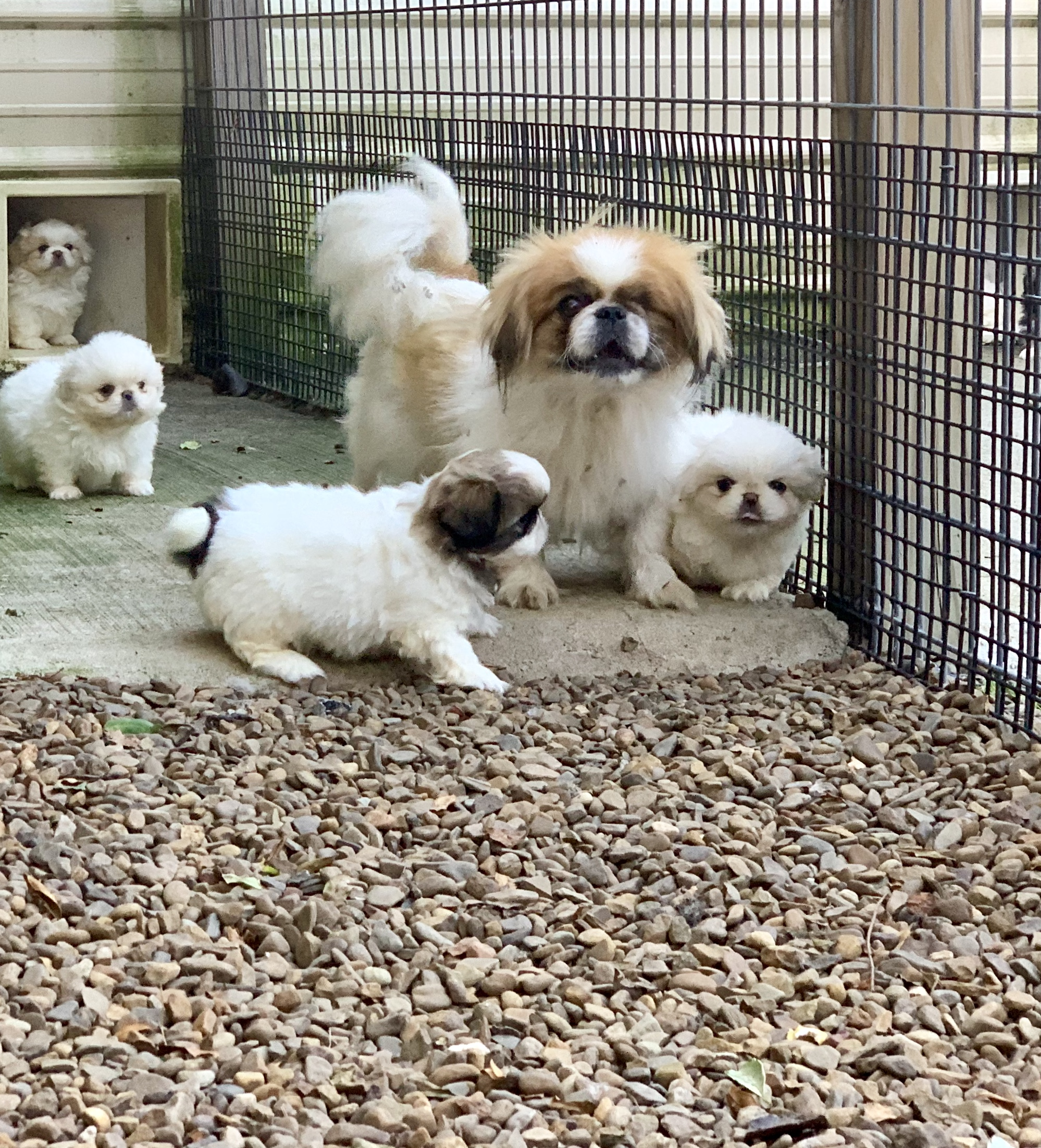 A happy momma Pekingese and her puppies