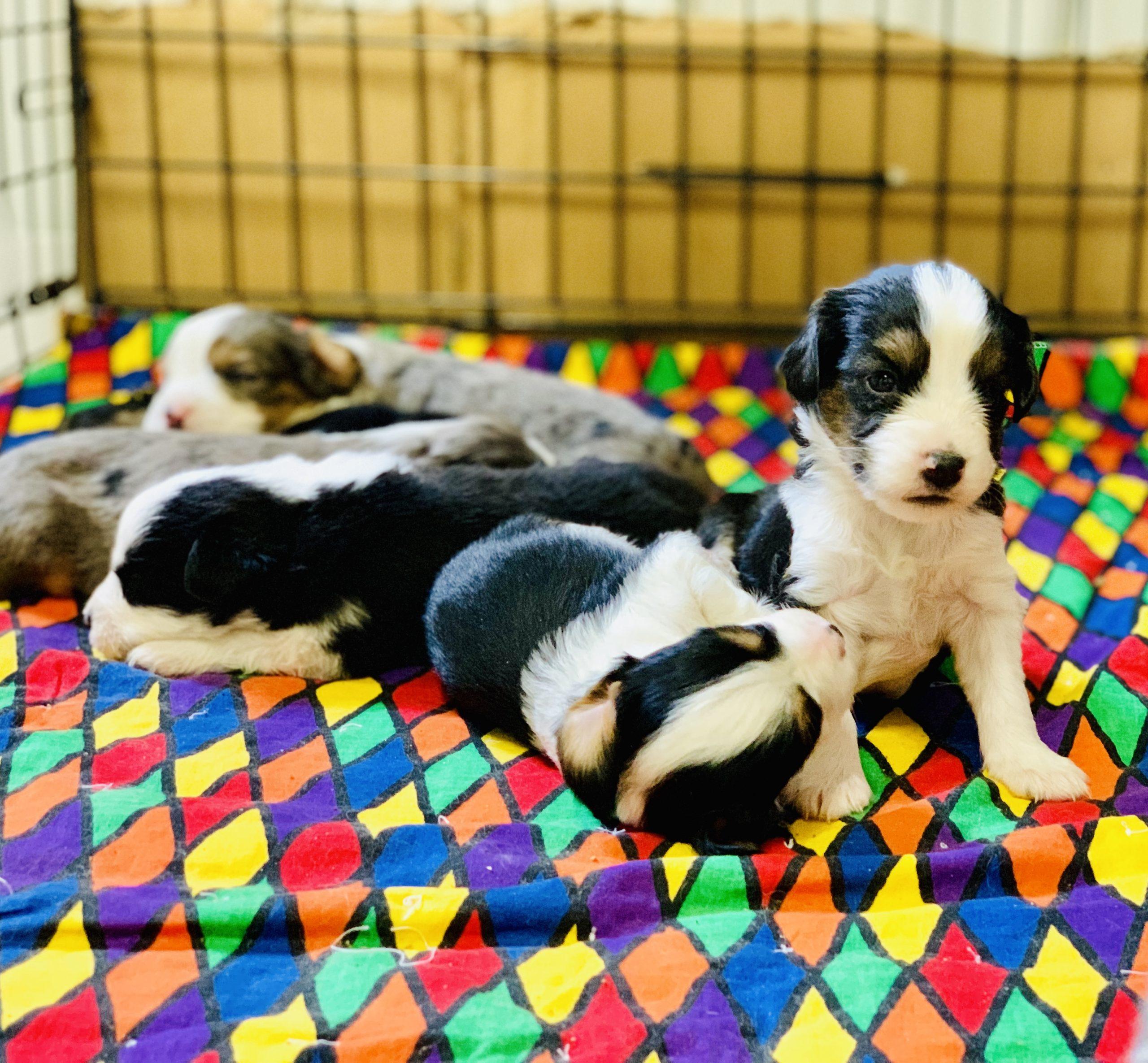 A litter of puppies