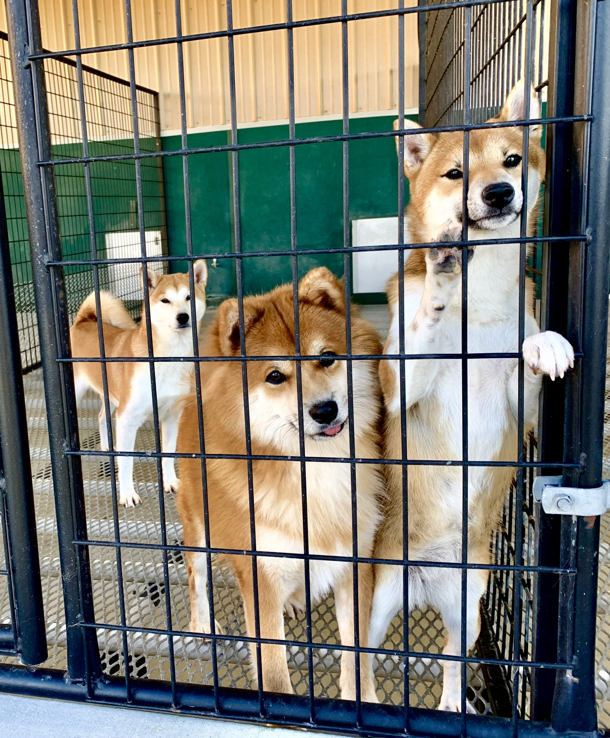 Shib Inu dogs