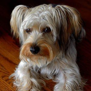 Schnorkie Puppies For Sale Animal Kingdom Arizona
