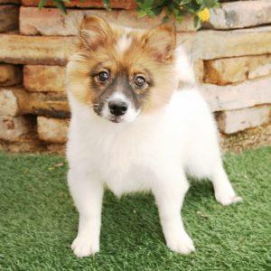 Shiranian Puppies For Sale Animal Kingdom Arizona