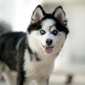 Pomsky Puppies For Sale Animal Kingdom Arizona